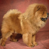 Royal Club Kennel: Ch. Cinderella Man of the Royal Club