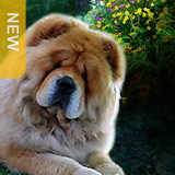 In the Showcase: MAJESTIC SANDIAL Chow-Chows-2