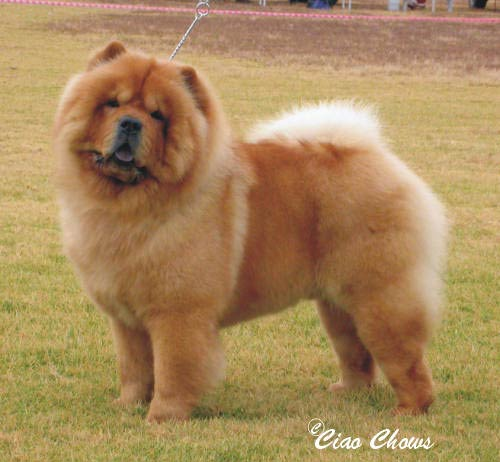Ciao Ciao Dog Breed