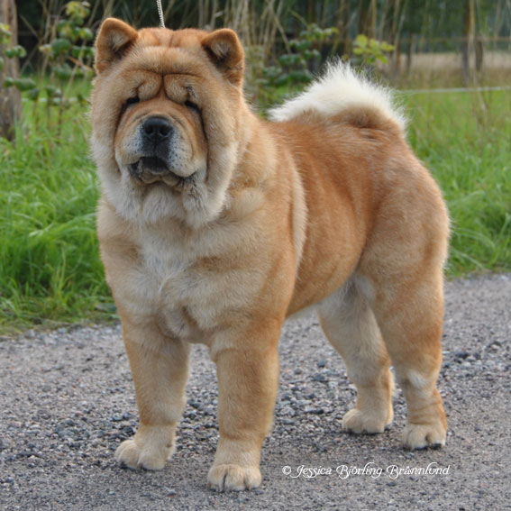 miniature chow puppies to download miniature chow puppies just right