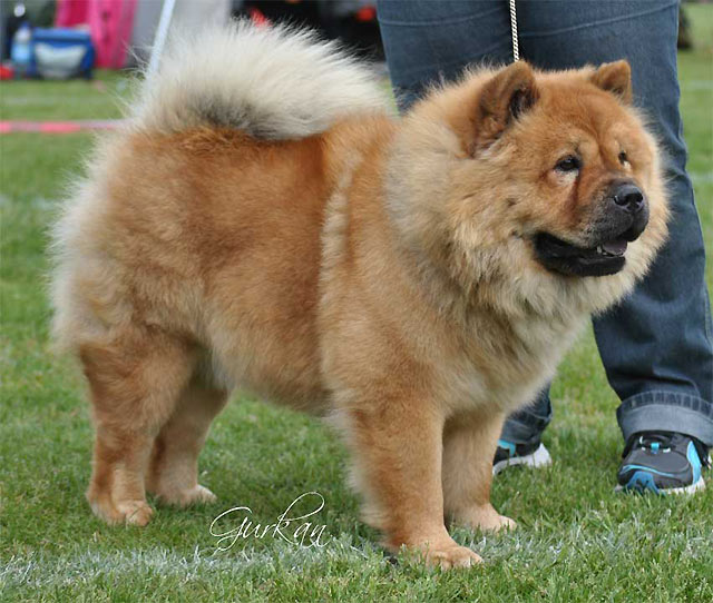 R Chow Chows Mean Sweden, Norrköpin...