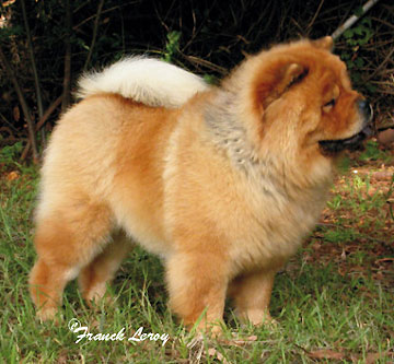 South Africa Netchows Com Chow Chow Shownews