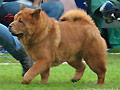 Beleza's Chow Chow Smooth Emilia